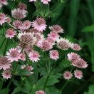 astrantia_major_roma_2_1.jpg
