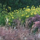 helianthus_microcephalus_lemon_queen_eupatorium_fistulosum_purple_bush.jpg