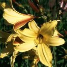 hemerocallis-corky-gross.jpg