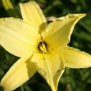 hemerocallis_atlas.jpg