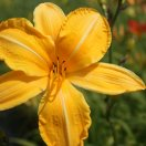 hemerocallis_carthweels.jpg