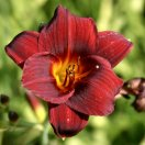 hemerocallis_little_joy.jpg