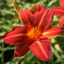 hemerocallis_shining_plumage.jpg