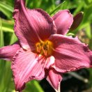 hemerocallis_summer_wine.jpg