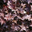 heuchera-rachel-gross.jpg