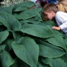 hosta-green-acres-gross.jpg